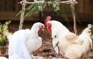 زفاف حار والعروسة فرخة.. فوتوسيشن زفاف الدجاج (فيديو)