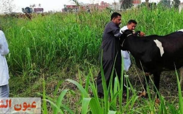 تحصين 144 ألف و 235 رأس ماشية ضد الحمى القلاعية..وترقيم وتسجيل 14ألف و 530 رأس ماشية بالشرقية
