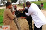 بيطري الشرقية يُحصن 231 ألف و 130 رأس ماشية ضد مرضي الحمي القلاعية وحمي الوادي المتصدع