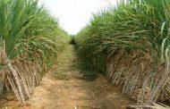 وكيل زراعة النواب: السيسى أنصف الفلاح فى السعر الجديد لقصب السكر