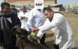 بيطري الشرقية يُحصن 155 ألف رأس ماشية ضد الحمي القلاعية وحمي الوادي المتصدع