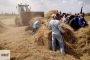 إنتهاء موسم حصاد الأرز...وتحرير ٤١٨ محضر لحرق القش بالشرقية